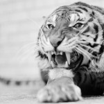 Testy Tiger