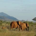 elephants migrating