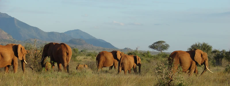 elephants migrating